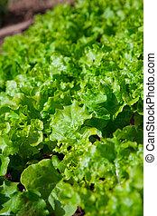 groente, sla, tuin, seedlings