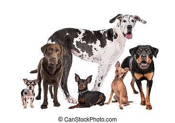 groep, honden, groot