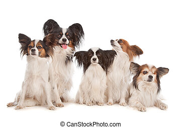 groep, papillon, vijf, honden