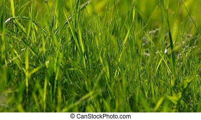 groot gras, groene achtergrond