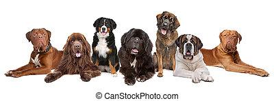 groot, groot, groep, honden