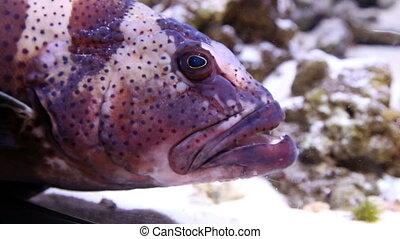 groot hoofd, grouper