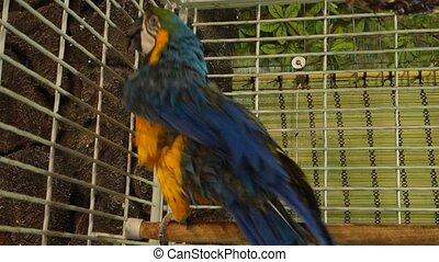 groot, papegaai
