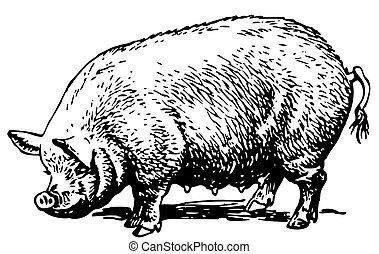 groot, varken
