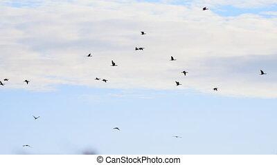 groot, vliegen, hemel, bewolkt, black , tegen, vlucht, aalscholvers