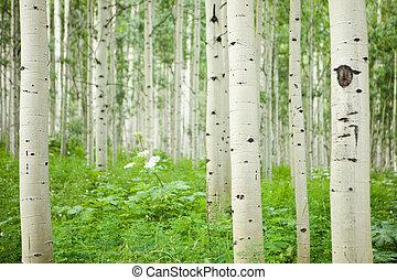 groot, witte , aspen bos, bomen
