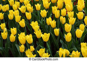 grown, exquisite., op, parken, tulpen
