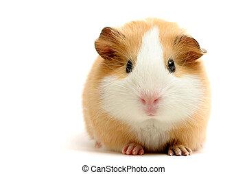 guinea, op, witte , varken