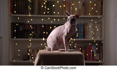 hairless, cozy, boekenplank, zit, kamer, achtergrond, leunstoel, likken, kat, itself