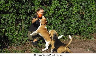 handen, speelbal, sprong, gelukkige vrouw, master., toneelstukken, twee, beagles, honden, concept., dogs.