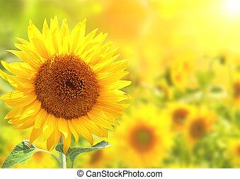 helder, zonnebloemen, gele