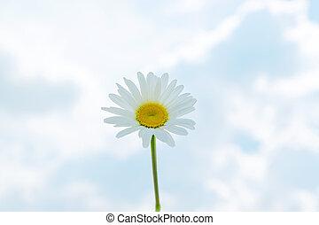 hemel, tegen, blauwe , madeliefje, enkel, camomile, achtergrond, bloeien