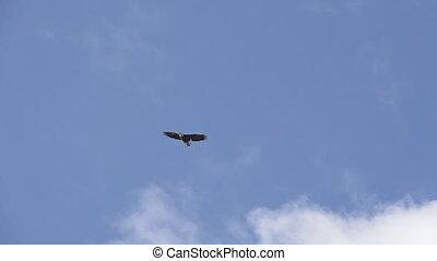hemelblauw, slo, kale adelaar, het cirkelen