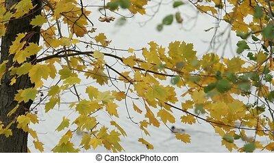 herfst, rivier, waterfowl, vogels