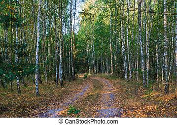 herfst, russische , bos, berken, landscape