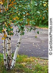 herfst, russische , jonge, berken