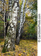 herfst, russische , witte , berken, bos