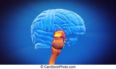 hersenen, deel, -, spinal