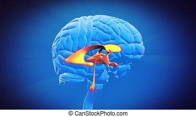 hersenen, deel, -, ventrikel
