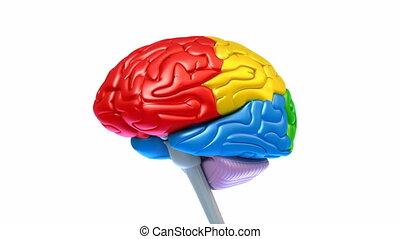 hersenen, kwabben, kleuren, anders