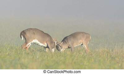hertje, twee, o, whitetail, sparring, mannetjesdier