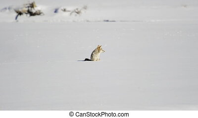 het kijken, coyote, ongeveer