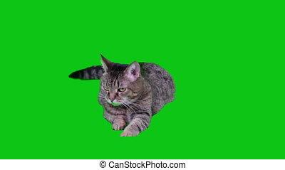 het liggen, green-screen, kat