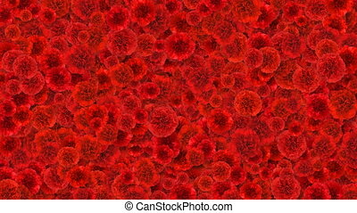 het mooie leven, bloeien, anjers, natuur, lente, concept., bedekking, alfa, matte., screen., transitions., animatie, hd, nieuw, groeiende, nuttig, bloemen, ultra, rood, 4k