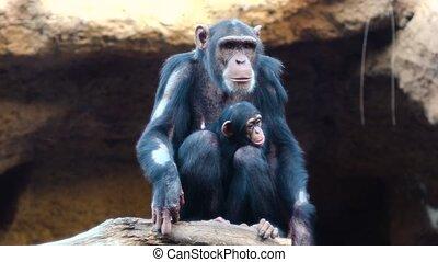 het rusten, chimpansees
