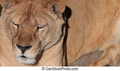 het rusten, lioness