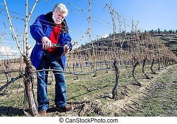 hoger mannetje, besnoeiing, wijngaarden
