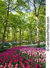 holland, kleurrijke, tulpen, park, bloeien, keukenhof