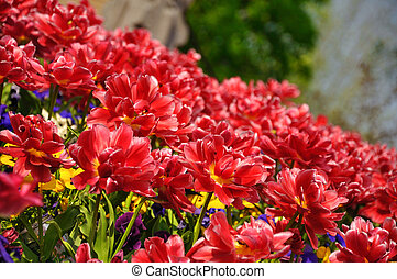 holland, tulpen, park, blossing, rood, keukenhof