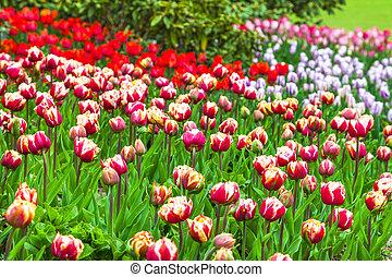 holland, tulpen, park