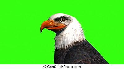 hoofd, kale adelaar, afsluiten, groene, op, screen.
