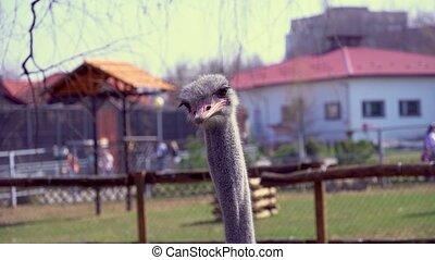 hoofd, zijn, close-up, groot, draaien, hoofd, snavel, struisvogel