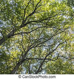 hoog, loofverliezend, bos, bomen
