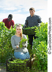 hulp, oogsten, vrouw, groene, mannen, bonen