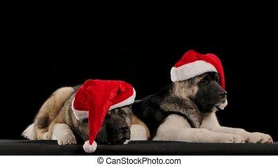 hun, honden, afsluiten, heads., leugen, amerikaan, vervelend, vertragen, twee, bijna, black , hoedjes, rood, akita, beide, huisdieren, boven., studio, het vallen, achtergrond, kerstman, slapend, motion., claus
