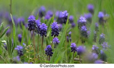 hyacint, bloemen, gras, groene achtergrond