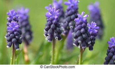 hyacint, gras, bloemen, dauw, groene achtergrond, druppels