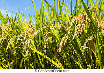 ii, akker, rijst