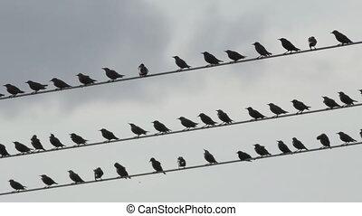 kabel, schemering, op, high-volgate, spreeuw, vlucht, vogels