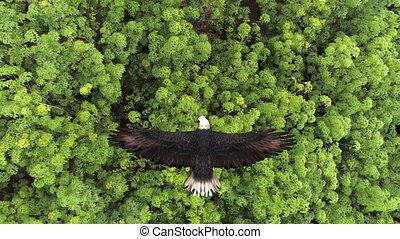 kale adelaar, close-up, vliegen, forest., op