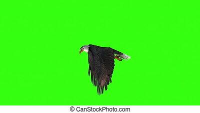 kale adelaar, links, groene, vliegen, overzicht., screen.