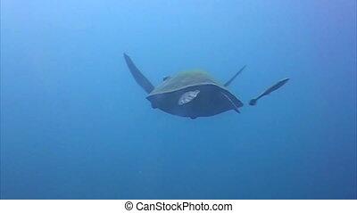 karetschildpad, zee