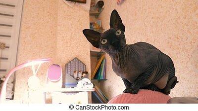 kat, black , sphinx