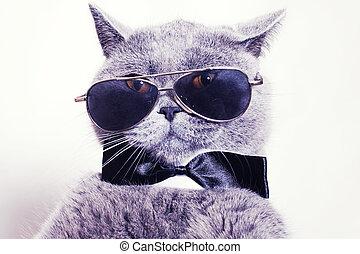 kat, brits, vervelend, grijs, verticaal, zonnebrillen, shorthair