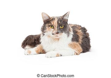 kat, langharige, calico, het leggen, huiselijk