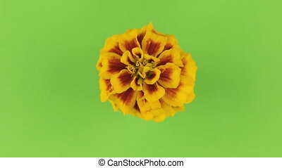 keying., vertragen, gele achtergrond, groene, bloem, omwenteling
